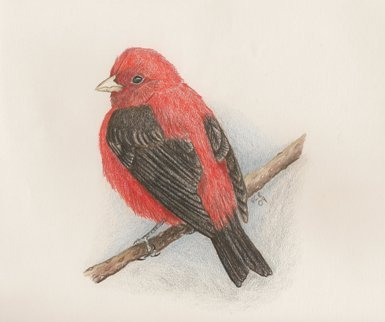 Scarlet Tanager, colored pencil