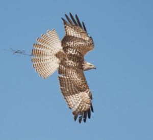 Krider's Red-tailed Hawk