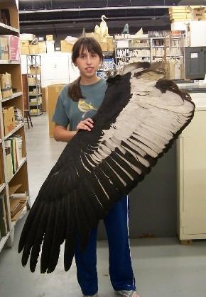 Andean Condor wing