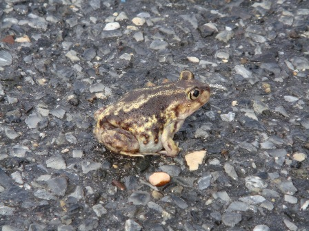 Spadefoot Toad