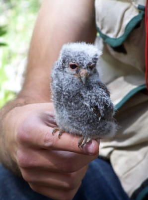 Flammulated Owlet
