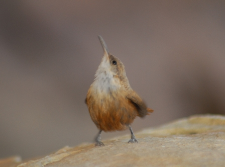 curious Canyon Wren
