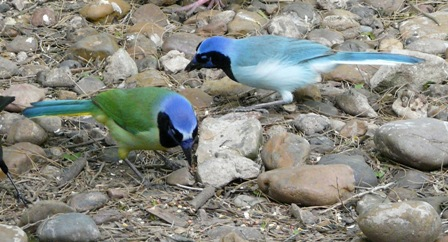 a typical colored Green Jay (left) and the blue variant