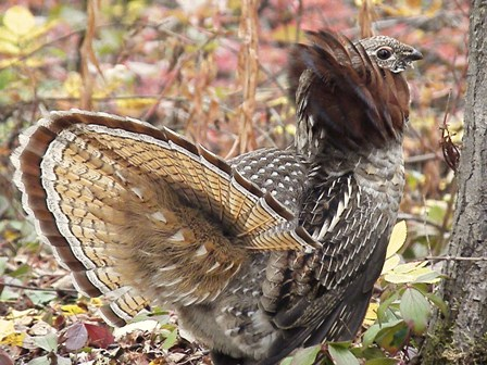 Ruffed Grouse displaying