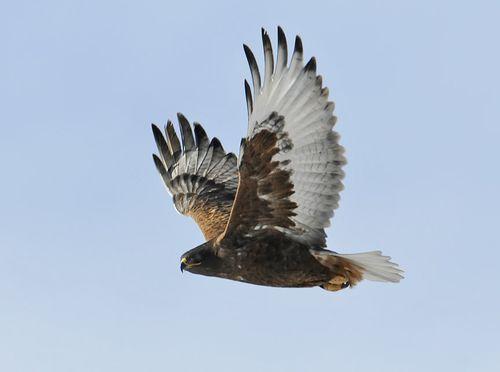 FEHA_ruf-ad-male_fly_lr2