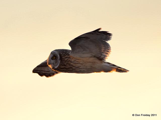 Owl, short-eared cohansey nj jan 22 2011 dpf 013