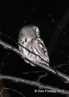Owl, screech walnut valley cbc nj dec 18 2010 dpf 004-1