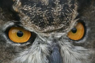 Great Horned Owl, Photo by Susan Rachlin/FWS