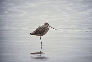 Marbled Godwit/Photo by Lee Karney/USFWS