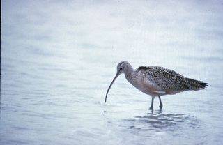 Long-billed Curlew/Photo by USFWS