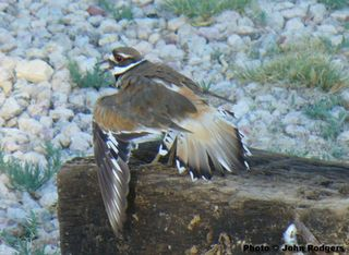Killdeer_resize