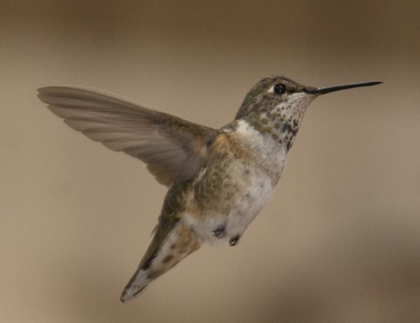 The Mystery Hummingbird Of Chicago