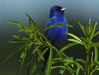 Indigo Bunting, Photo by Steve Maslowski/FWS