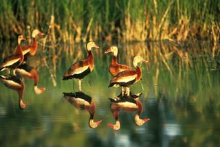 Black-bellied Whistling Ducks/Photo by Bob Stratton/USFWS