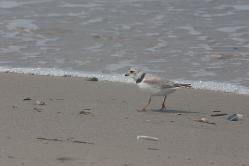 Piping Plover/Photo by Billy Kaselow