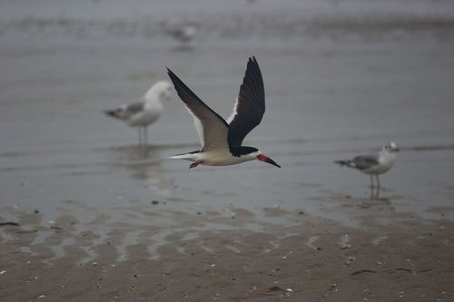 Black Skimmer/Photo by Billy Kaselow