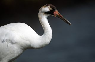 Whooping Crane/Photo by Ryan Hagerty/FWS
