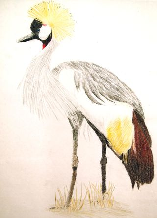 MMaGee Gray-crowned Crane