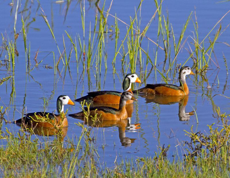 African pygmy goose BINNS IMG_6794 copy