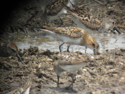 ABArare Little Stint CA 01