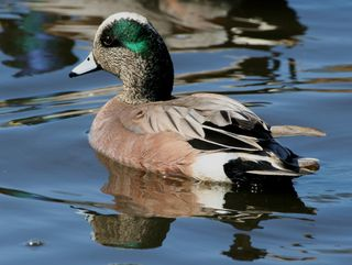 American Wigeon/Photo by Donna Dewhurst/FWS