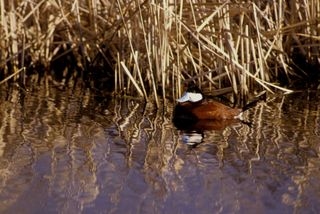 Ruddy Duck/Photo by Hollingsworth/FWS