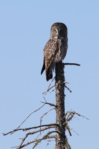 Great Gray Owl2