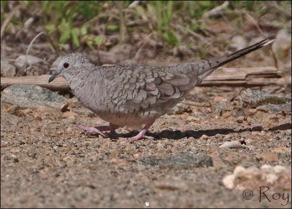 ABArare Inca Dove Roy Brown