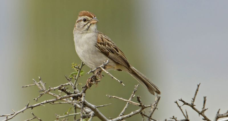 12-5-06-03 [Rufous-winged Sparrow]crop