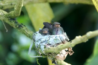 Rufous-tailed-nest2-laramie.JPG