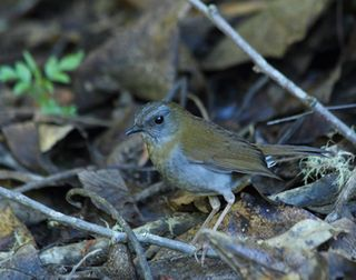 Black-billed-Nightengale-Thrush