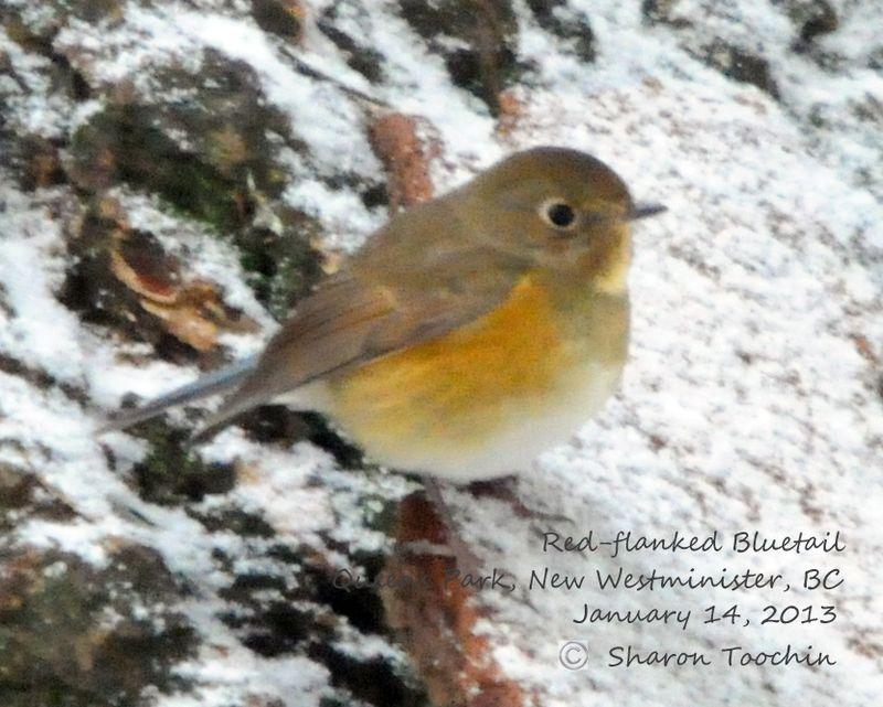 ABArare Bluetail RFBL-4-SharonToochin-14Jan2013