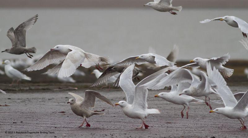 1000_Barrow gull flock_9060