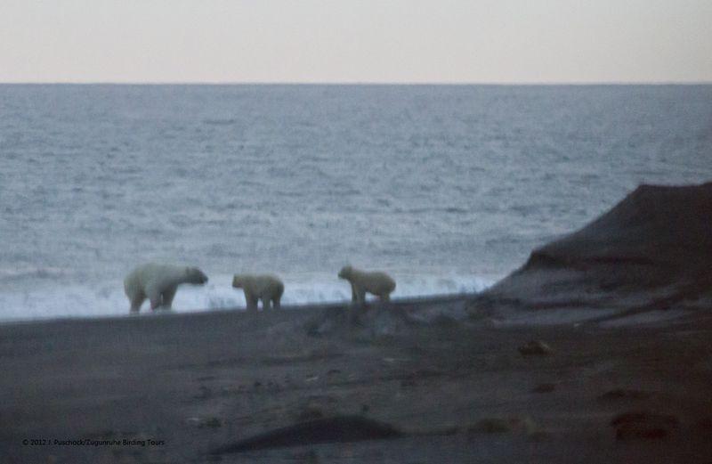 1000_polar bears_9840