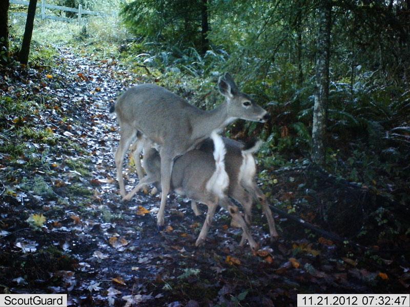 Deerfawns