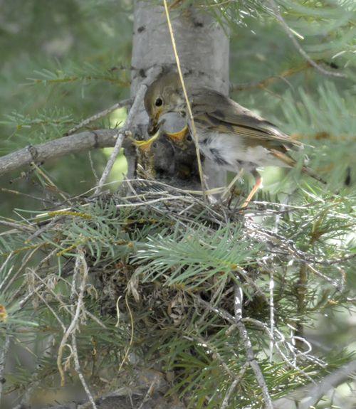 HETH_nest-6lr