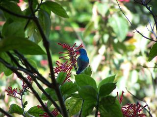 Variable or Collared Sunbird