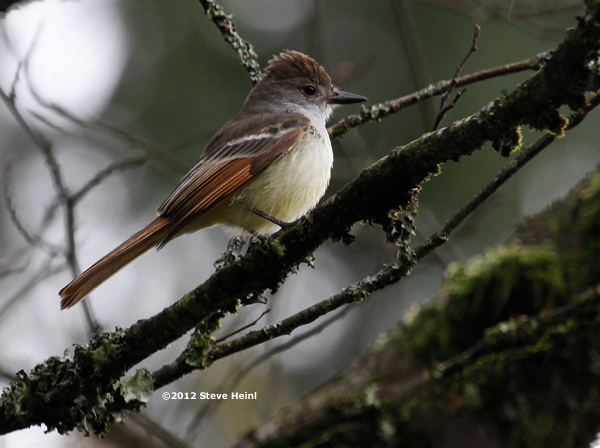 ABArare Ash-throated Flycatcher Alaska 01