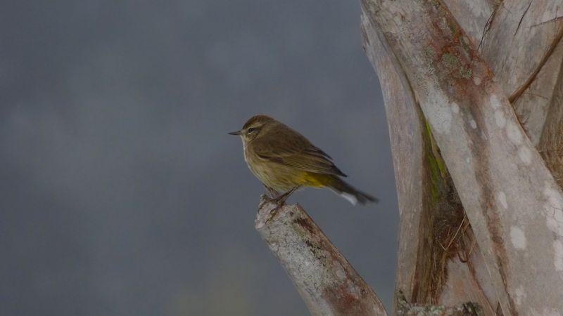 Palm Warbler, FL