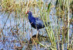 BPA 0227 -- Purple Swampen -- Pembroke Pines -- 1999-01-22 -- Bill Pranty