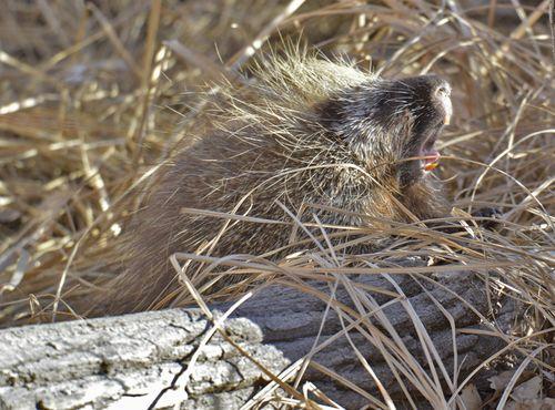Porcupine-Yawn