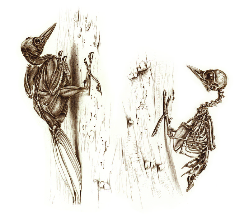 Vangrouw.woodpeckers