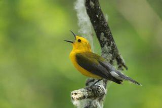 Prothonotary-warbler-kristina-polk