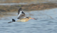 802 Black-tailed Godwit