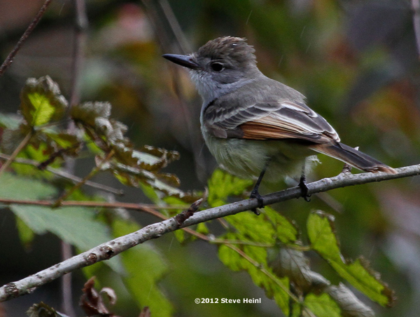 ABArare Ash-throated Flycatcher Alaska 02
