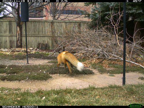 Fox_day-1