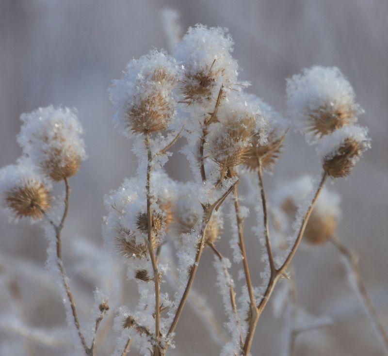 Snowyplants