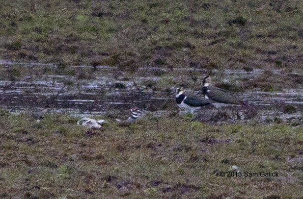 ABArare Northern Lapwing Jan 2013 NJ Galick 02