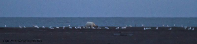 1000_polar bear_9834