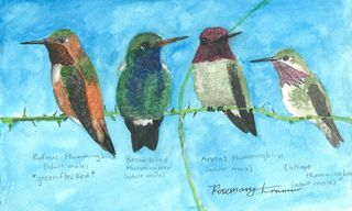 Hummingbirds-rosemary-kramer